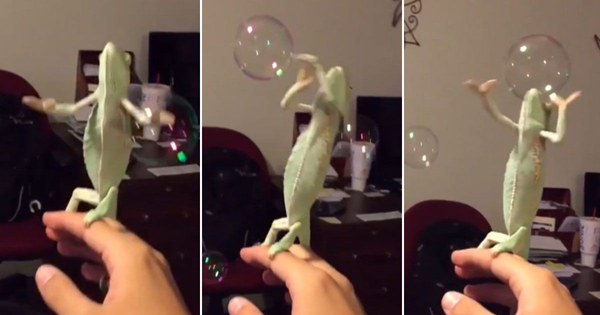 Chameleon Loves To Pop Bubbles